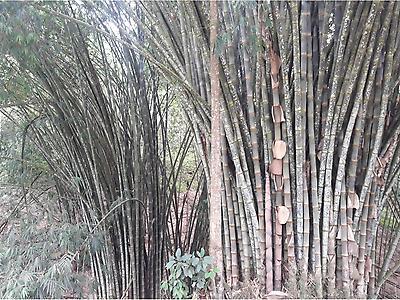 Bambú y caña guadúa