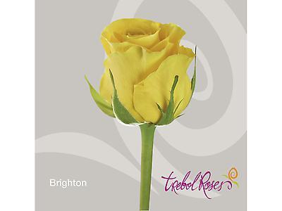 BRIGHTON ROSE