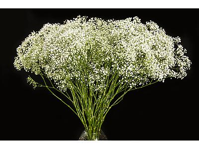 Gypsophila Millon Star