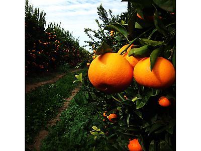 Mandarins W. Murcott