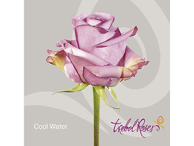 COOL WATER ROSE