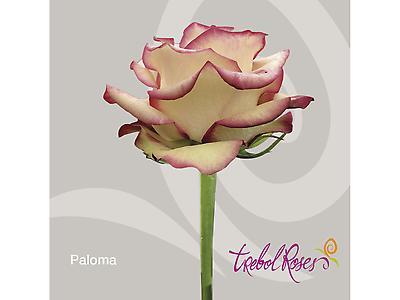 PALOMA ROSE