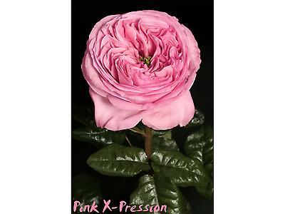 Pink X-Pression