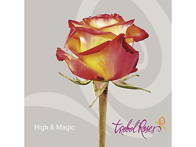 HIGH & MAGIC ROSE