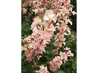 Flor de Alelí
