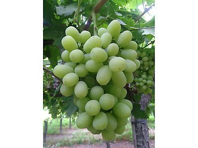variedad de uvas