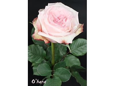 Pink O´hara
