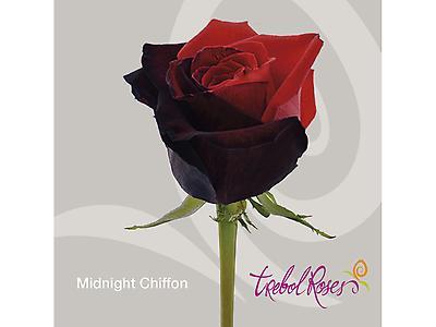 MIDNIGHT CHIFFON TINTED ROSE