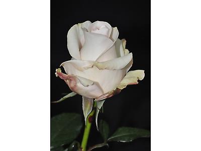 ROSE BRIDAL AKITO