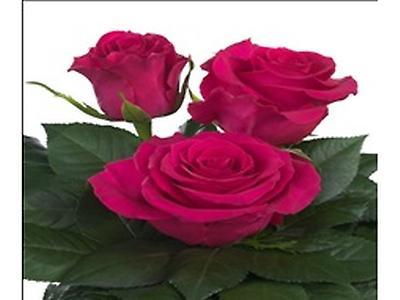 Rosas frescas cortadas