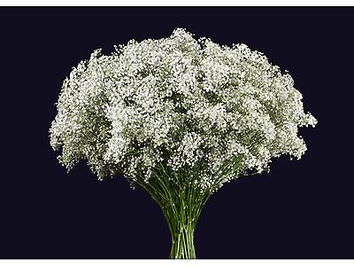 Gypsophilia Million Stars